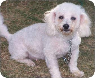 Poodle (Miniature) Mix Dog for adoption in Owatonna, Minnesota - Petunia