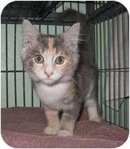 Domestic Shorthair Kitten for adoption in Shelton, Washington - Cassie