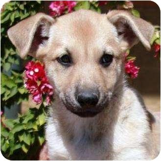 German Shepherd Dog/Hound (Unknown Type) Mix Puppy for adoption in Gilbert, Arizona - Seven