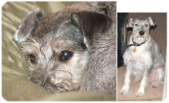 Schnauzer (Miniature) Mix Dog for adoption in Haughton, Louisiana - Lucky
