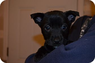 Border Collie/Australian Cattle Dog Mix Puppy for adoption in Westminster, Colorado - Shirley