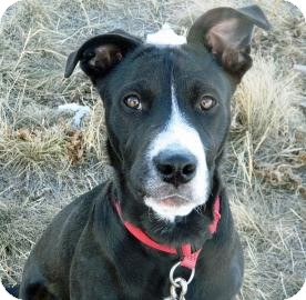 Border Collie/Pit Bull Terrier Mix Dog for adoption in Cheyenne, Wyoming - Chewy