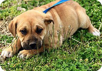 Mastiff Mix Puppy for adoption in Staunton, Virginia - Dawton