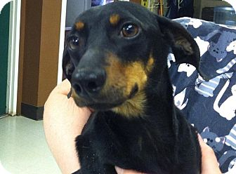 Dachshund/Miniature Pinscher Mix Dog for adoption in Woodland, Alabama - Ursi aka Murray