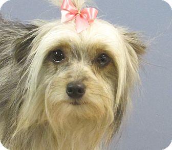 Yorkie, Yorkshire Terrier/Maltese Mix Puppy for adoption in Hagerstown, Maryland - Allie