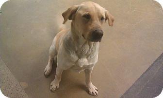 Labrador Retriever Dog for adoption in New Windsor, New York - Noah