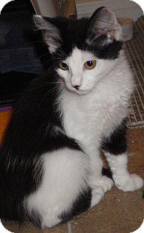 Domestic Mediumhair Kitten for adoption in Quail Valley, California - Grayson