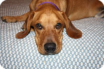 Basset Hound/Beagle Mix Dog for adoption in Yorba Linda, California - Morris - I only weigh 30 lbs!