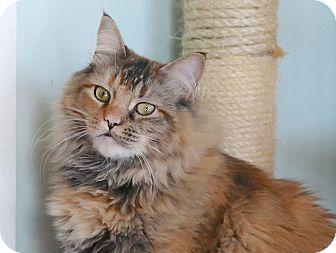 Domestic Mediumhair Cat for adoption in Brimfield, Massachusetts - Bella