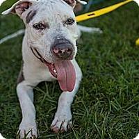 Adopt A Pet :: Dozer - Lake Worth, FL