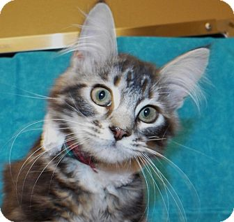 Maine Coon Kitten for adoption in Grants Pass, Oregon - Bubbles