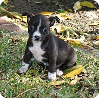 Boston Terrier/Chihuahua Mix Puppy for adoption in La Habra Heights, California - Joy