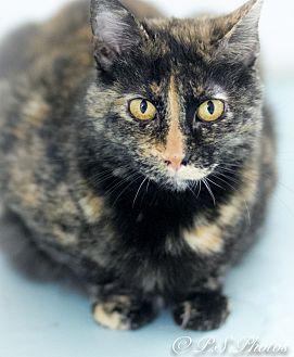 Calico Cat for adoption in Belton, Missouri - Zinnia