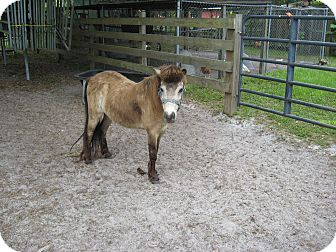 Miniature Mix for adoption in Christmas, Florida - Mini Mare (Cindy)