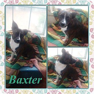 Boston Terrier/Sheltie, Shetland Sheepdog Mix Dog for adoption in East Hartford, Connecticut - Baxter in CT