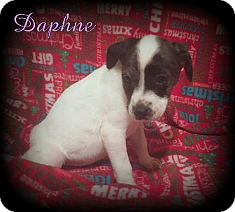 Australian Cattle Dog/Terrier (Unknown Type, Small) Mix Puppy for adoption in Denver, North Carolina - Daphne