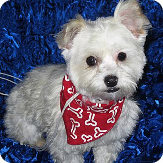 Maltese/Yorkie, Yorkshire Terrier Mix Dog for adoption in San Diego, California - Freckles
