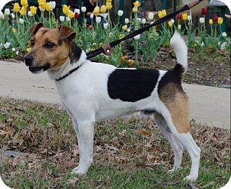 Jack Russell Terrier Dog for adoption in Dallas/Ft. Worth, Texas - Cajun in Dallas ADOPT PENDING