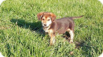 Beagle/German Shepherd Dog Mix Puppy for adoption in Russellville, Kentucky - Bourbon