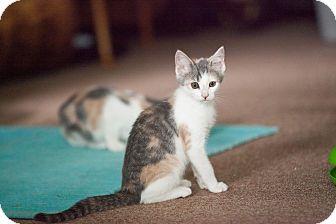 Domestic Shorthair Kitten for adoption in Statesville, North Carolina - Kianna