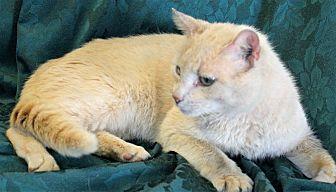 Domestic Shorthair Cat for adoption in Greensboro, North Carolina - Bailey