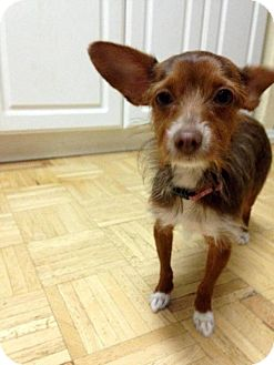 Yorkie, Yorkshire Terrier/Chihuahua Mix Dog for adoption in Phoenix, Arizona - Cammie