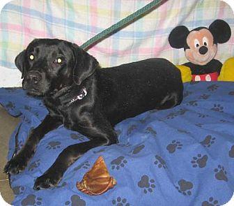 Labrador Retriever Mix Dog for adoption in Kankakee, Illinois - Bella