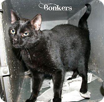 Domestic Shorthair Cat for adoption in Kankakee, Illinois - Bonkers B. Bobcat