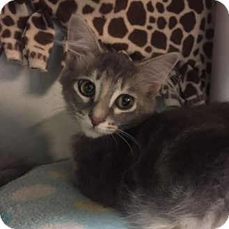 Domestic Shorthair Kitten for adoption in Westminster, California - Tess