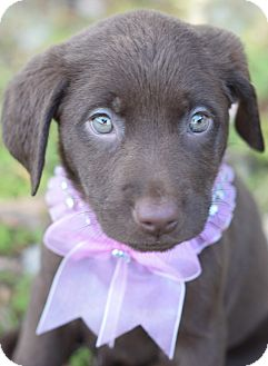 Labrador Retriever Mix Puppy for adoption in Denver, Colorado - Libby