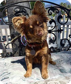 Pomeranian/Miniature Pinscher Mix Puppy for adoption in Santa Ana, California - Pauli (BH)