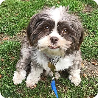 Shih Tzu Mix Dog for adoption in Los Angeles, California - JULIE