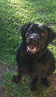 Labrador Retriever/Golden Retriever Mix Dog for adoption in Schertz, Texas - Jasper
