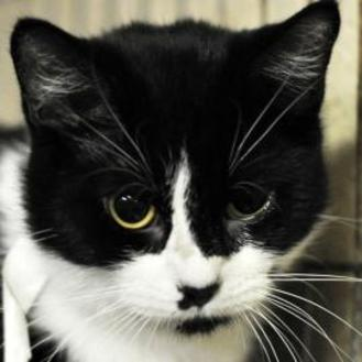 Domestic Shorthair/Domestic Shorthair Mix Cat for adoption in Tilton, Illinois - China Doll