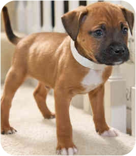 Boxer/Shepherd (Unknown Type) Mix Puppy for adoption in Mt. Prospect, Illinois - Willoughby