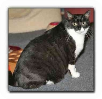 Domestic Shorthair Cat for adoption in Howell, Michigan - Sonny