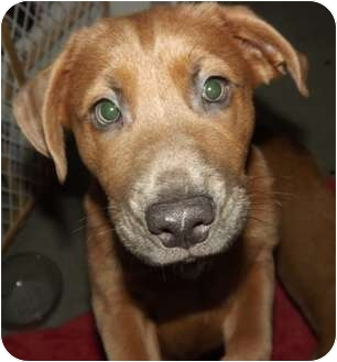 Labrador Retriever/Shepherd (Unknown Type) Mix Puppy for adoption in Wasilla, Alaska - Teddy