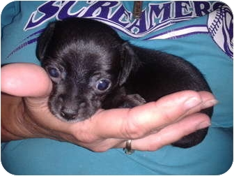 Chihuahua Mix Puppy for adoption in Remlap, Alabama - Tiny Tim