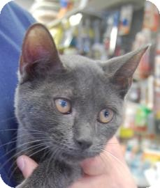 Domestic Shorthair Cat for adoption in Brooklyn, New York - Josh