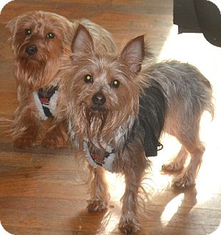 Yorkie, Yorkshire Terrier Dog for adoption in Greensboro, North Carolina - Petey & Petunia -- Bonded Pair