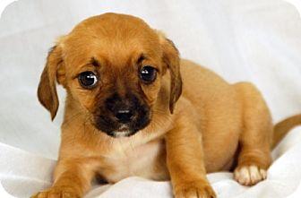 Dachshund/Beagle Mix Puppy for adoption in Newland, North Carolina - Pinto