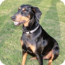 Doberman Pinscher Dog for adoption in Proctorville, Ohio, Ohio - Sir William