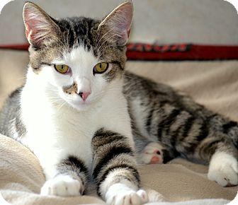Domestic Shorthair Kitten for adoption in Villa Hills, Kentucky - Possum