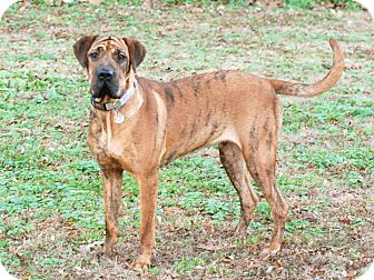 Shar Pei/Labrador Retriever Mix Dog for adoption in Homewood, Alabama - Amelia