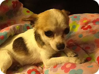 Chihuahua Dog for adoption in Center Moriches, New York - Sweetpea