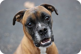Boxer Dog for adoption in Port Washington, New York - Bruno