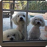 Adopt A Pet :: MaltiPoo - Whittier, CA