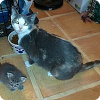Domestic Shorthair Cat for adoption in Miami, Florida - Sophie