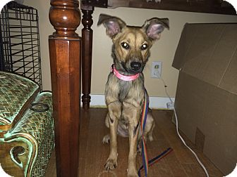 Shepherd (Unknown Type)/Collie Mix Dog for adoption in Chattanooga, Tennessee - Dolly