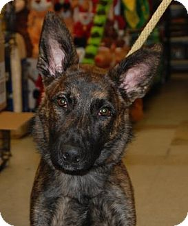 Shepherd (Unknown Type) Mix Dog for adoption in Brooklyn, New York - Royal